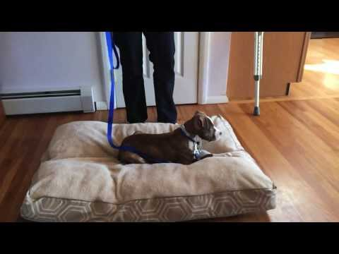 Demonstrating How to Train a Pitbull Terrier Puppy the 'Place' Command