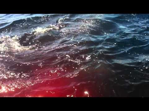 Mako Shark Attacks Spinner Dolphin Next to the Boat