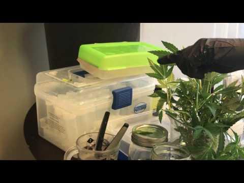 "Microclone ""Tissueponics"" shortcut cannabis tissue culture.  Part 4"