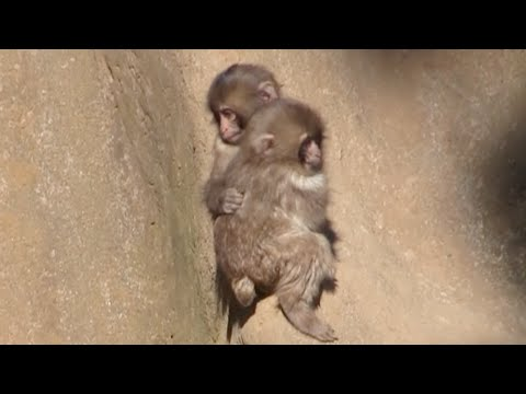 Hugging a baby monkey:Cute Baby Animal Video