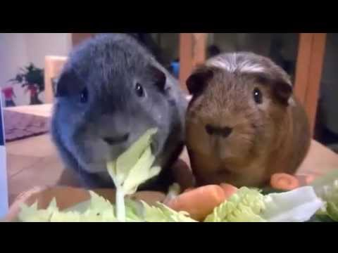 The Award For Best Synchronized Nomming Goes TO... Guinea Pigs Rufus and Stanley