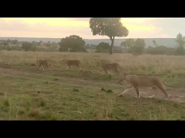 Lions and Cubs heading out on the hunt. Maasai Mara. Serian Camp.