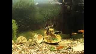 Популярные и неприхотливые аквариумные рыбки для начинающих(Мы подготовили очередной небольшой сюжет по материалам нашего сайта http://akvarym.com/ . Наша цель, помочь начинаю..., 2014-01-20T17:19:52.000Z)