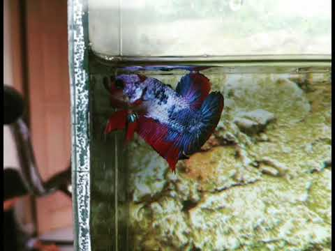 Ikan Cupang Hias Jenis Plakat Fancy Koi - YouTube