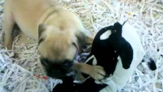 Cutest Pet Store Puppy Ever! Pug Plays In Pen