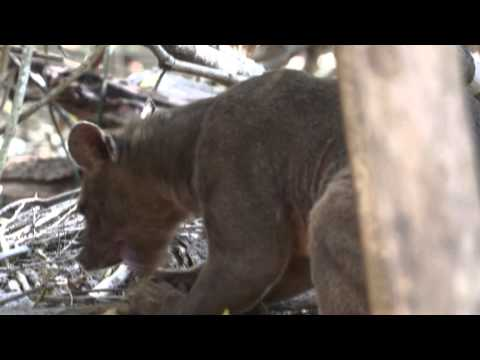 What is a Fossa | Madagascar