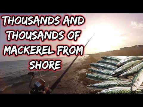Thousands Of Mackerel Hit The Beaches. EASY FISHING