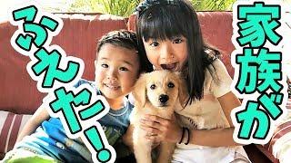 うちに家族が増えました! 2か月のゴールデンレトリーバーの子犬のこな...