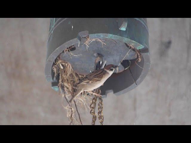 鐘の音が鈍くなり「おかしいな」…中にスズメの巣 広島