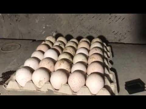 Как хранить яйца для инкубации в домашних условиях