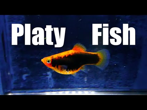 Platy Fish (Species Profile + Breeding)