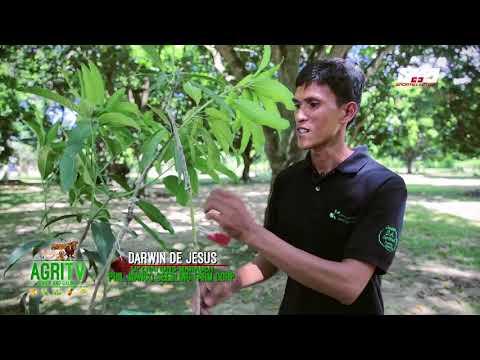 AGRITV MAY 13, 2018 Philippine Mango Seedlings Corp strains