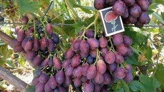 новые сорта винограда видео