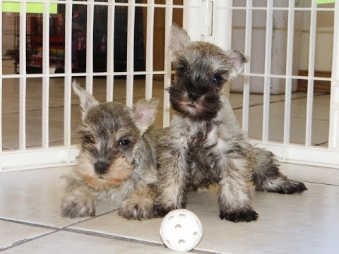 ... Puppies Dogs For Sale In Charlotte North Carolina NC 19Breeders Cary