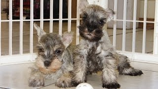 Miniature Schnauzer, Puppies, For, Sale, In, Charlotte, North Carolina, Nc, Lexington, Clemmons, Fuq