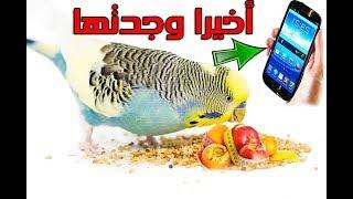 كيف تجعل هاتفك يحفز طيور البادجي والكناري ان يأكلو كل مايعطى لهم من خضر وفواكه وبيض مسلوق