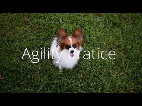 Percy the Papillon Dog: Agility Practice