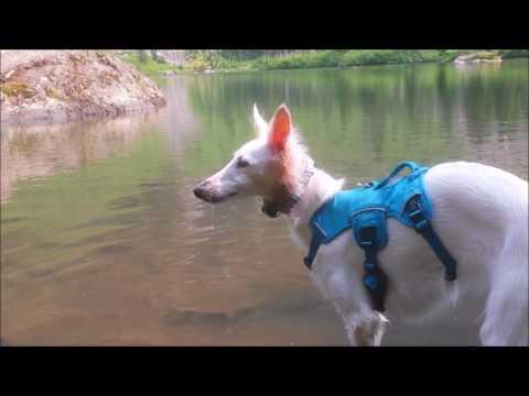 Silken Windhound Blows Bubbles