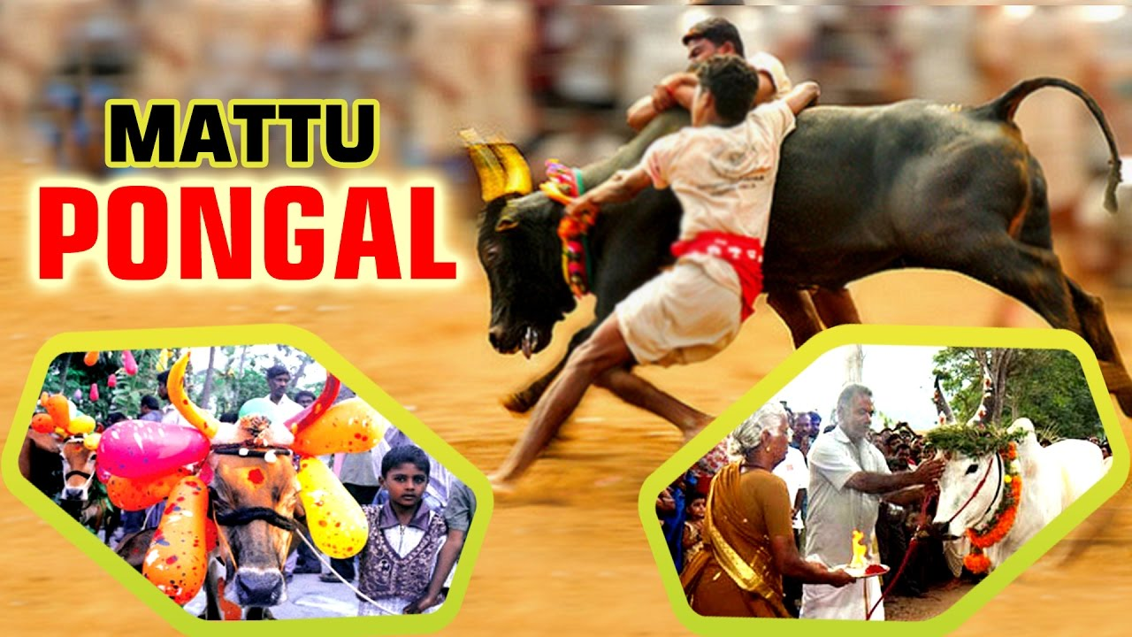 pongal festival of tamilnadu Pongal festival is a celebrations of famous harvest festival in tamilnadu also a cultural festival pongal is celebrated with music and dance with special pongal dishes.