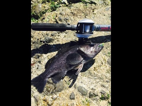 NONSTOP ACTION California Jetty Fishing For Black Rock Fish!!!