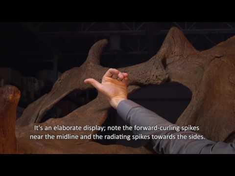 New Species of Horned Dinosaur—Judith