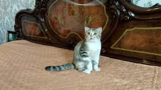 Чудо котёнок,мальчик окрас черепаховый