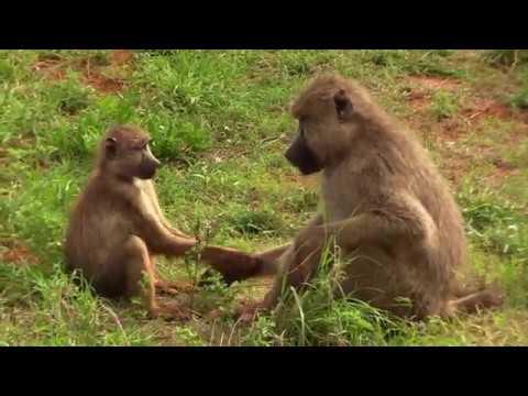Safari, Keňa, Afrika. Tsavo West National Park, Walking Safari. Voyager Ziwani Camp