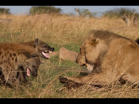 Lion vs Hyenas: Original uncut epic battle