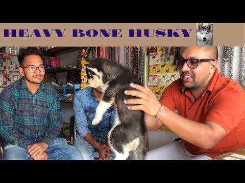 Heavy bone Husky - Bhola Shola