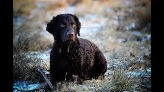 #88 CURLYCOATED RETRIEVER 1/2  | Which Dog Should I Get? Dog Breed Selector