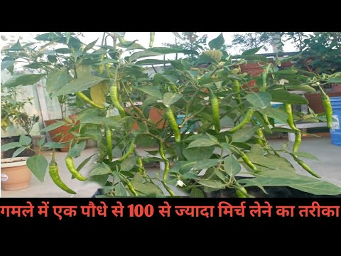 How to fertilizer for chilli plant in hindi | मिर्च में खाद कब और कैसे दें