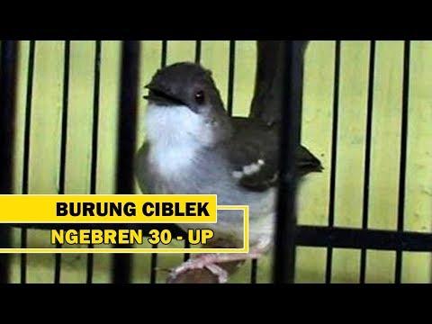 Download Lagu Burung Ciblek Ngebren 30 Up, Mantap..