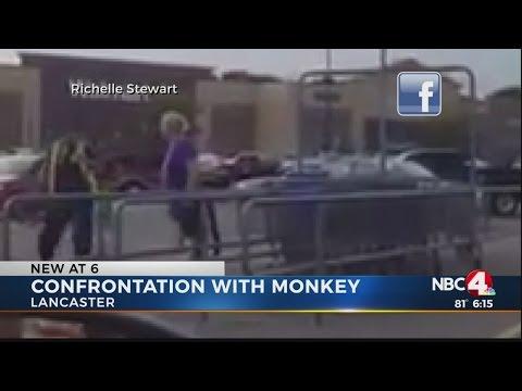 Monkey gets loose in Lancaster Walmart parking lot