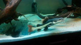 Кормлю своих рыб краснохвостый сом и пираньи кто ест больше? Red tail catfish