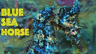 Blue Seahorse, New Obama fish, and the FIRST All In One Aquarium Stand / Dec 23 2016