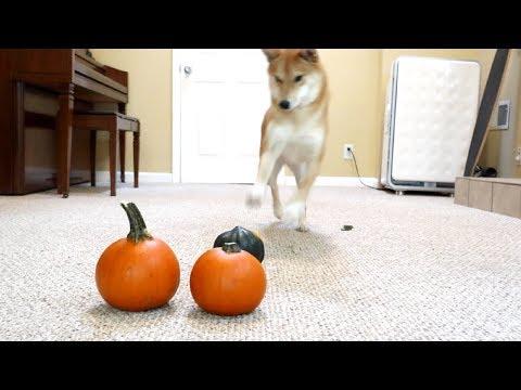 Shiba Dog Can't Stand Mini Pumpkins.