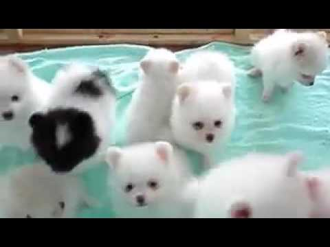 So cute  american eskimo puppy dogs