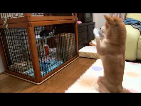 子猫にお願いポーズをする柴犬 Shiba Inu to scrounge to kitten