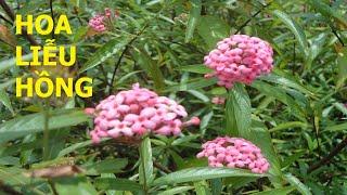 Hoa Liễu hồng: Một loài hoa ít người biết đến - Cuộc sống quanh ta: Số 665.