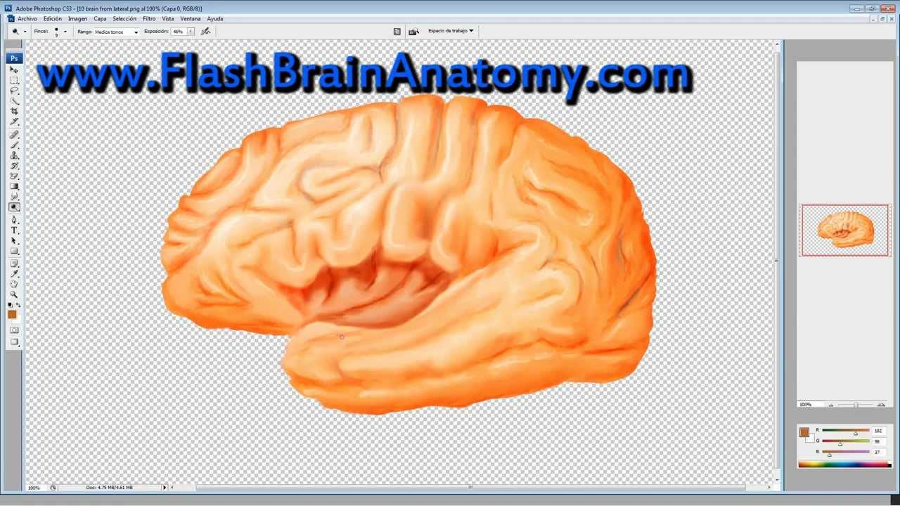 Insula or Insular Cortex Brain Anatomy Drawing - YouTube