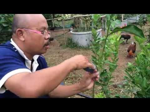 มะนาวแป้นเกรียงไกร กับ วิธีตัดแปะ(ไม่ใช่การเสียบยอด)บนต้นส้มโอ