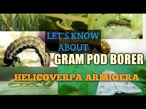 Helicoverpa Armigera-Gram pod borer, highly infectious pest of plant    by agri related.