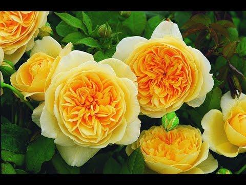 Розы Сибирской селекции. Коллекция 2016