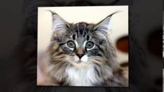 Норвежский лесной кот - ласковый и разговорчивый