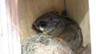 Darling Flying Squirrel Very Nervous E11 Sea Pines Bluebird Project Hilton Head Island, SC