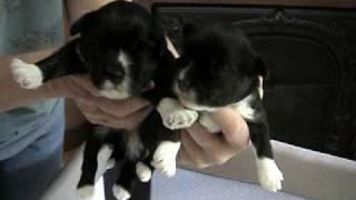 Lowchen puppies