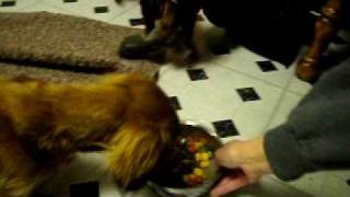 Dachshund Tug of War (Two Wiener Dogs)!  Funny