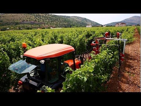 SAVJET NEDJELJE  Zelena rezidba vinove loze