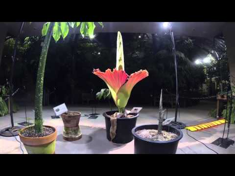 Time-lapse Video: Amorphophallus Titanum 2014 Bloom