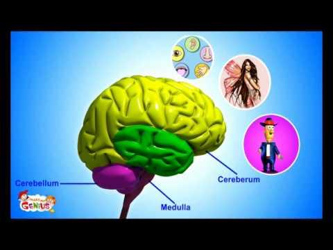 Il Sistema nervoso - Materiali per la scuola